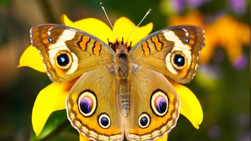 Як метелики можуть зашкодити будівництву стіни Трампа