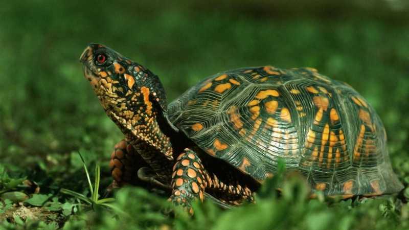Як старі бюстгальтери рятують черепах