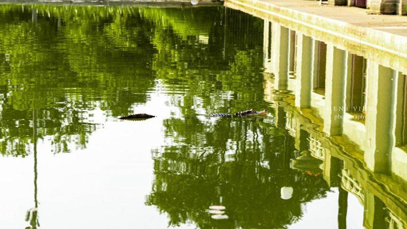 У Чикаго в лагуні Гумбольдт-Парку з'явився алігатор