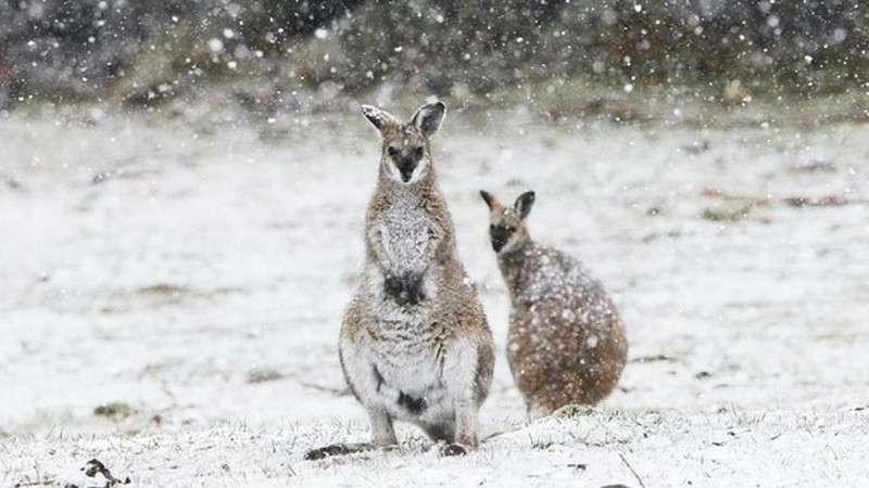 Шоковані кенгуру стрибають кучугурами: в Австралії випав сніг