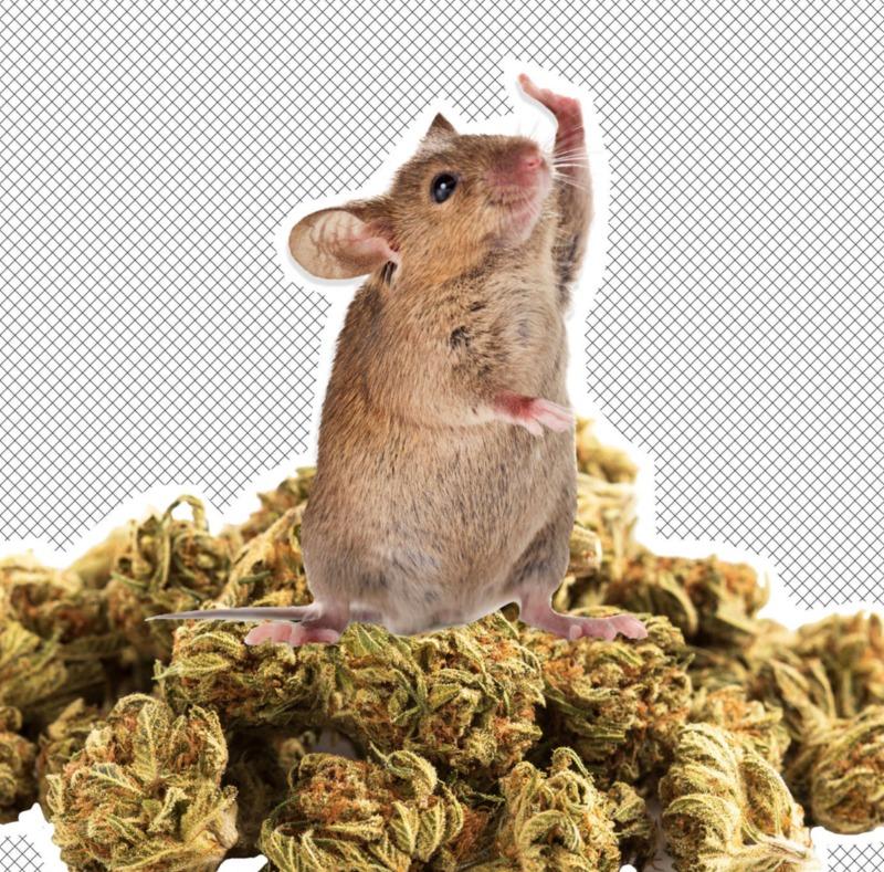В Аргентині поліцейські звинуватили мишей у зникненні півтонни наркотиків