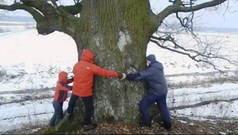 В Україні ростуть унікальні дуби-велетні