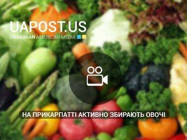 На Прикарпатті активно збирають овочі (via НТК)
